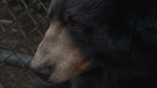 Large American Black Bear