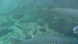 Large Rainbow Trout Swimming