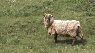 Lone Ram On Grassy Hill