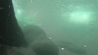 North American River Otter Underwater