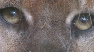 Panther Eyes Close Up