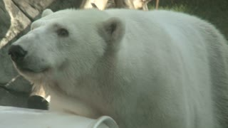 Polar Bear At The Oregon Zoo