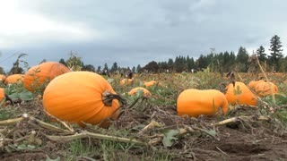 Pumpkin Patch Ready For The Picking