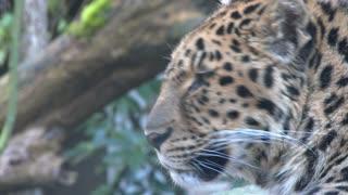 Rare Amur Leopard Close Up