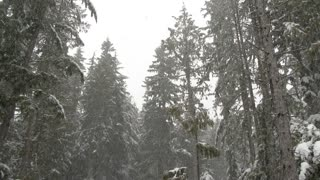 Snowing In Lush Pacific Northwest Forest