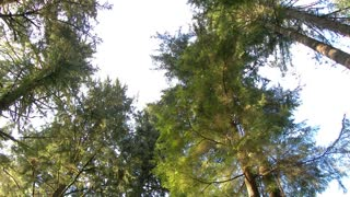Tall Forest Trees Spin Pan