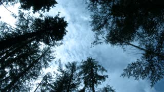 Tall Trees And Blue Sky Clouds