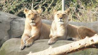 Two Lion Twins Side By Side