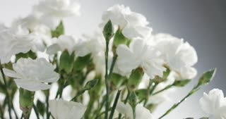 red and white carnation flower rotation