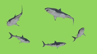 White Sharks in search of prey swims in a circle