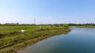 a herd of cows grazes in the river