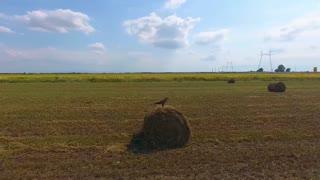 eagle sits on a haystack