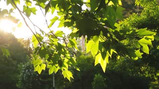 foliage of a tree in the sunlight, panorama