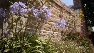 Agapanthus flowers at Ile de Brehat, Bretagne France