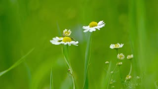 Chamomile at the countryside