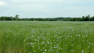 Field of flax in France
