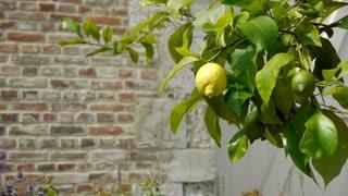 Lemon tree at an old walled botanical garden