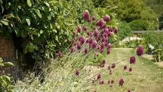 Onion flowers at a botanical garden