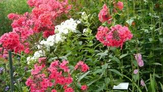 Phlox flowers at a botanical garden