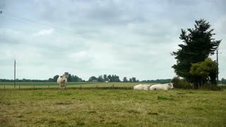 White cows at the countryside of Normandy, France