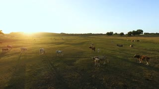 Aerial view of summer countryside with grazing cows.