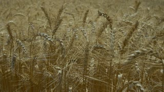 Food industry.Field of ripe wheat. Seeds closeup.Dolly shot