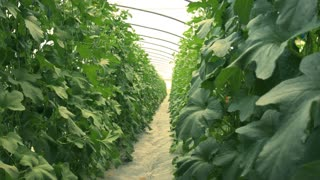 Greenhouse farm for growing vegetables and fruits. Dolly shot