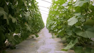Greenhouse range for growing seeds melon and watermelon. The hanging plantations of melons and watermelons