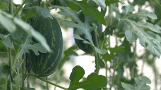 Greenhouse technologies. Watermelons grow on trees. Close-up of watermelon