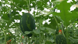 Greenhouse technology in agriculture. Industry of hanging watermelons. Slow motion dolly shot