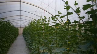High agricultural technologies. Melons and gourds grow in a greenhouse. Steadicam shot around