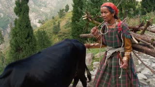 MANALI, INDIA - 26 SEPT 2016: A woman carries firewood in the village and leads cows