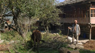 MANALI, INDIA - 28 SEPT 2016: An unknown old man stands with grazing cows in the Indian village, Himachal Pradesh, Kullu Valley