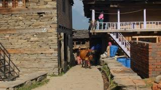 MANALI, INDIA - 28 SEPT 2016: Indian woman leads the cows in Indian village, Himachal Pradesh, Kullu Valley