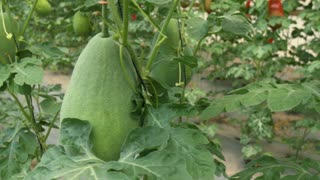 New technologies in agriculture. Hanging gourds, melons and watermelons. Dolly shot around