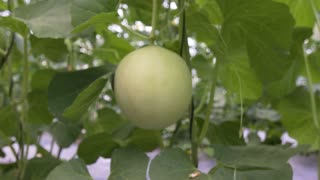 New technologies of cultivation of melons hanging. Close-up,dolly shot