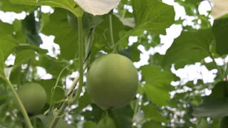 New technology of growing of melons and watermelons. Vitamins fruits and vegetables. Close up,dolly shot