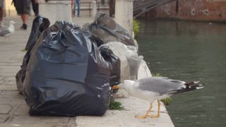 Seagull pulls out the garbage from the trash bag with the beak in Venice, Italy