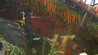 Season of harvesting. Agricultural machinery collects carrots. Slow motion, steady shot