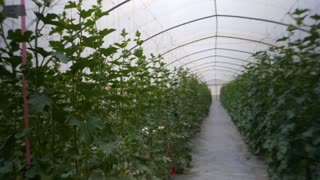 The cultivation of greenhouse crops, greenhouse technology . Steadicam shot