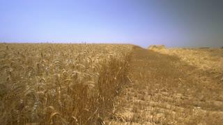 The fields of ripe wheat. World grain stocks. Slow motion,steady shot
