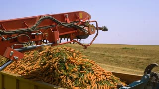 The harvest vegetable. The harvester collects the carrots in the field and loading it in the truck. Slow motion