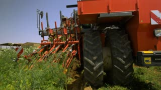 Vegetable harvester collects the crop in the field. Slow motion