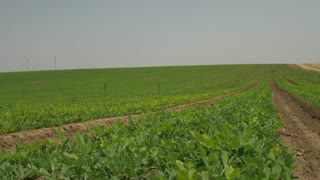 Vegetarian diet, soybean fields in the vegetable farms. Dolly shot