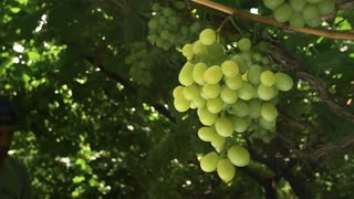Agronomist picking grapes . The harvest season in the wine regions . Slow motion , close up