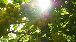 Biblical gardens . Antique vineyards in the Holy land of Israel. Slow motion , dolly shot .