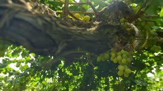 Ecology and nature. Vineyards in the sun . Slow motion , dolly shot