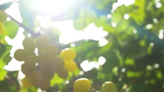 Ecology in the industry of agriculture . Grapevine closeup . Slow motion , dolly shot