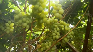 Harvest season in the wine industry . Grapes for the production of white wine. Slow motion , dolly shot