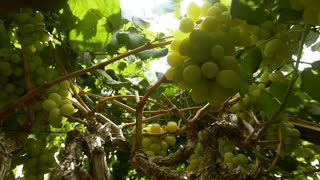 Nature of winemaking and organically grown grapes for wholesale buyers. Slow motion , dolly shot